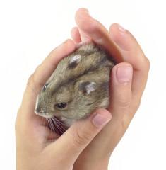 dwarf hamster in children hands
