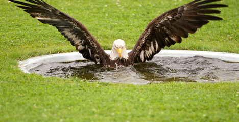eagle with outspread wings bathing in a water basin