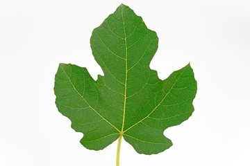 Fig leaf on white background