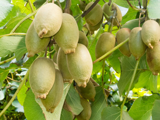 Ripe kiwifruits grown as an agricultural crop