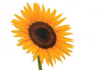ヒマワリの花