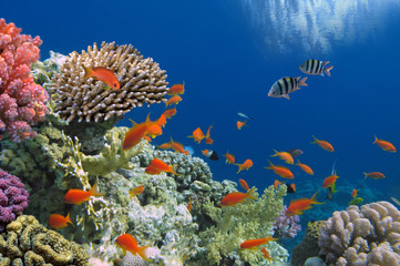 Wall Mural - Tropical Fish on Coral Reef in the Red Sea