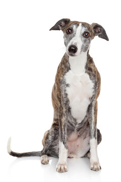 Portrait of Whippet on a white background
