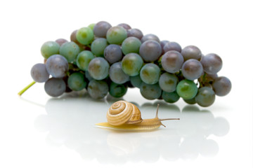 snail and a bunch of grapes on a white background