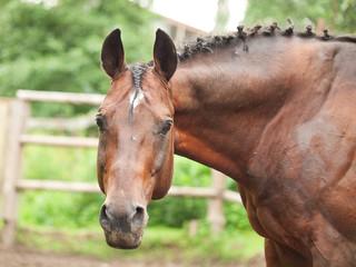 portrait of beautiful sportive horse in paddock