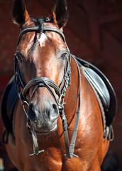 portrait of beautiful bay dressage  horse