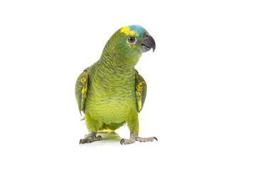 Blue fronted Amazon parrot on white background Fotomurales