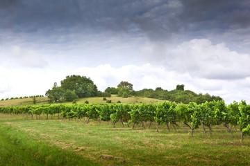 Wall Mural - Vigne, vignoble, raisin, paysage, campagne, culture