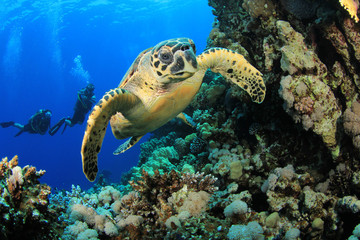Hawksbill Turtle and Scuba Divers
