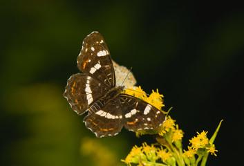 butterfly Araschnia levana
