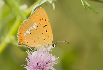butterfly Lycaena virgaureae