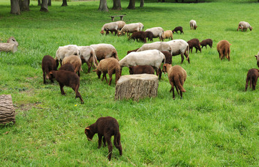 France, sheeps in the park of Théméricourt