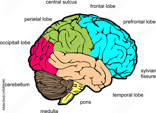 Human brain lateral view stock image and royalty free vector files human brain lateral view ccuart Choice Image