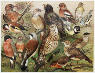 Vintage drawing of European cage birds from late 1800's