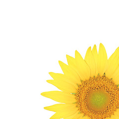Close up sun flower isolated on the white background