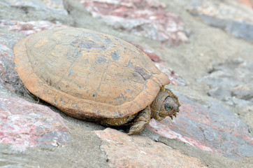 Sunbathing land turtle