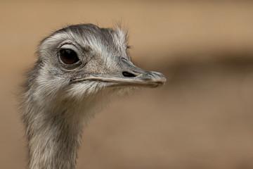 Emu, Kopf