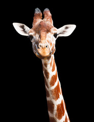 Giraffe black background