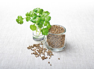 Fresh coriander leaves and dried seeds, also called cilantro, in jars and on white textile made of linen.