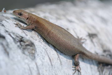 Brown pregnant lizard