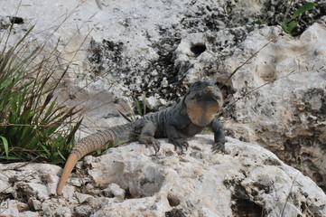 Iguana in Cancun Mexico