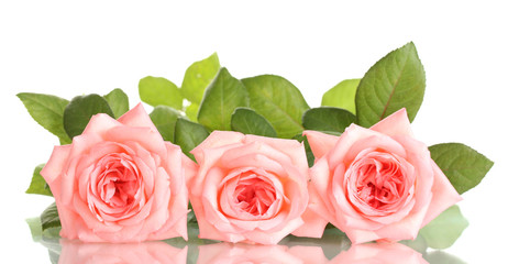 Pink roses isolated on white.