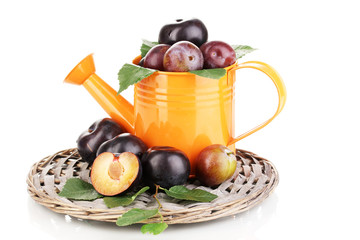 Rip plums in watering can on the wicker cradle isolated on