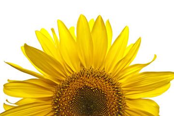 Sonnenblume Blüte