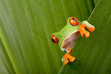 Deurstickers Kikker red eyed tree frog peeping