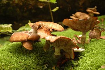 Group of orange false chanterelles grows in moss
