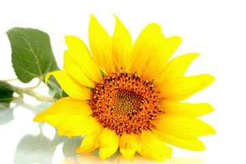 beautiful sunflower, isolated on white