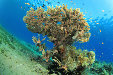 Coral and Lionfish in the Red Sea