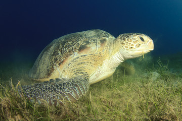 Green Turtle on Sea Grass