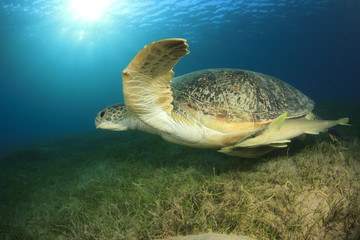 Green Sea Turtle with Remora Fish and sunburst