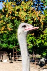 Ostrich female head