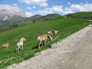 Cavalli sulle Alpi delle Dolomiti
