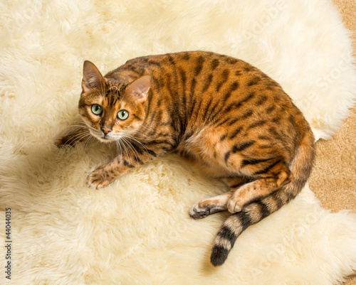 Bengal cat peeing on couch