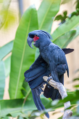 Palm Cockatoo Parrot in nature surrounding