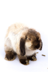 Bunny Holland Lop