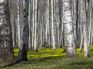 In de dag Berkbosje Birch Grove in the Spring