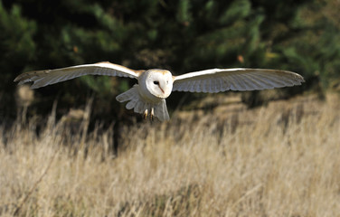 Wall Mural - Barn Owl in flight