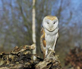 Fototapete - Barn Owl winking