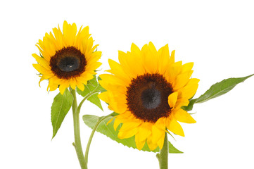 Two Sunflower Isolated On White Background