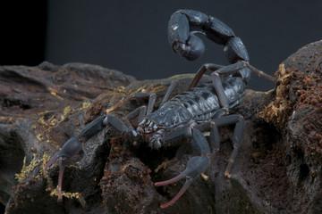 Scorpion / Grospus grandidieri