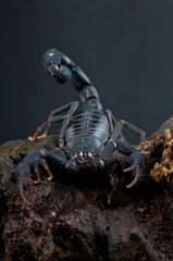 Scorpion / Grosphus grandidieri