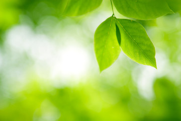 Green leaves in sunlight in a forest