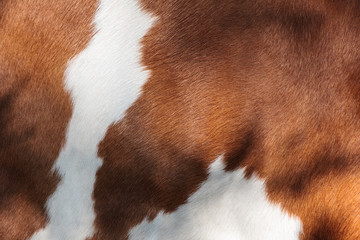 Red and white fur of a cow Wall mural