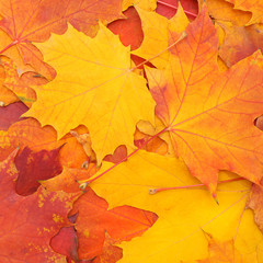 Autumn colorful background of mapple leaves