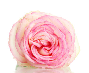 beautifu pink rose, isolated on white