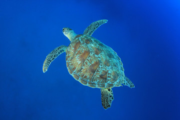 Green Sea Turtle in blue ocean